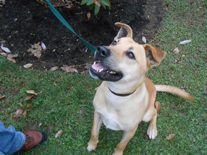 Olive, a Yellow Labrador/Shepherd cross female (Learn more about her)