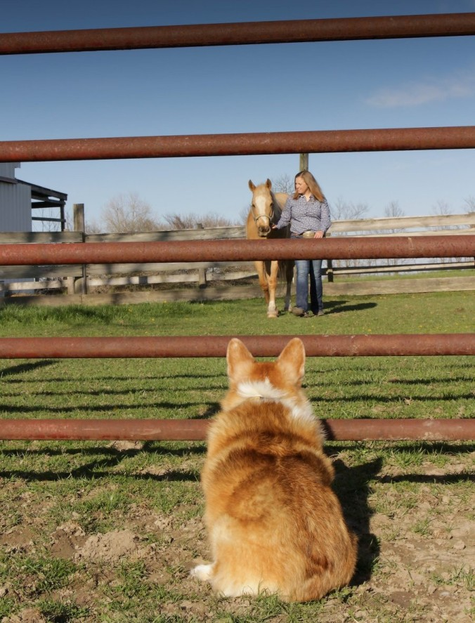 Corgi waiting patiently
