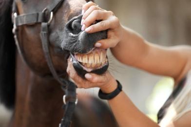 Vet checking horse's gums